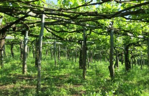 樹齢100歳以上の白品種混生の畑