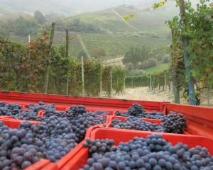 リヴェッラ・セラフィーノでのネッビオーロの収穫