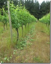 IMG_5480_クルションのピノ・ノワールの畑。15歳。芽かきは行うがキャノピーフリー